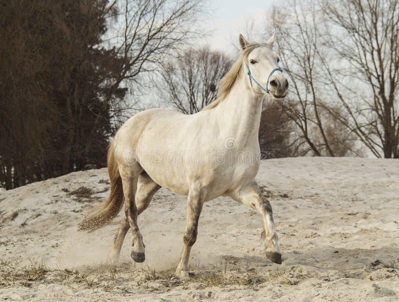 Het witte paard in een blauwe halter loopt op het zand tegen de achtergrond van hemel stock foto