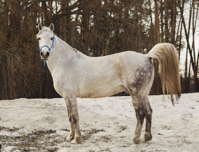 Het witte paard in een blauwe halter loopt op het zand tegen de achtergrond van hemel stock fotografie
