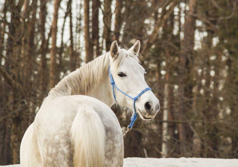 Het witte paard in een blauwe halter loopt op het zand tegen de achtergrond van hemel stock afbeeldingen