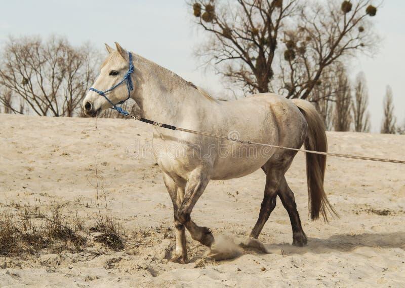 Het witte paard in een blauwe halter loopt op het zand tegen de achtergrond van hemel royalty-vrije stock afbeelding