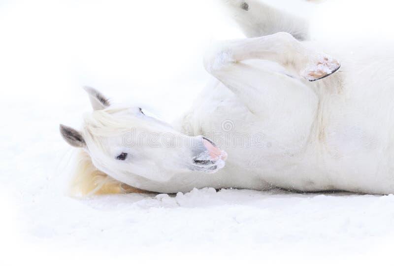 Het witte paard rollen royalty-vrije stock foto's