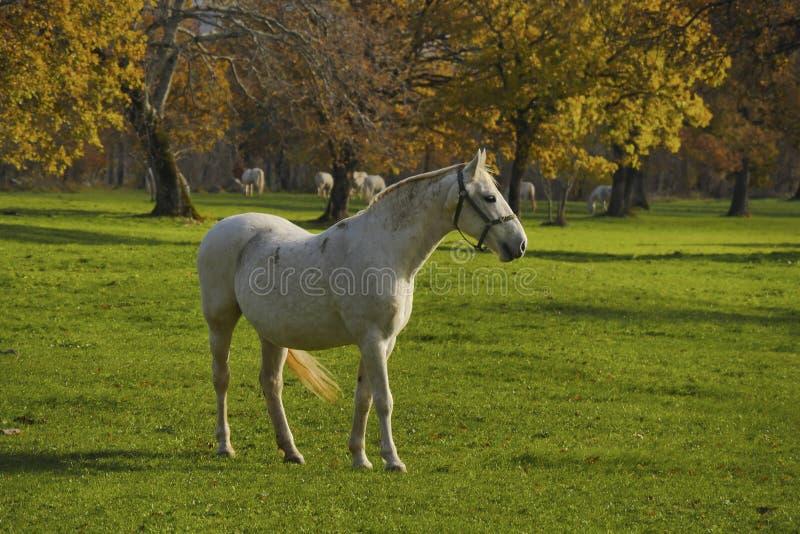 Het witte paard voor de herfstgebieden sluit omhoog stock fotografie