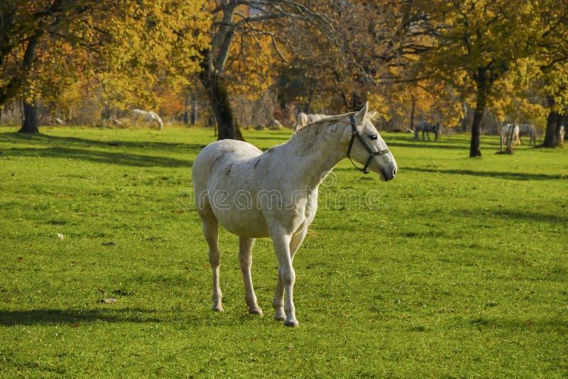 Het witte paard voor de herfstgebieden sluit omhoog royalty-vrije stock foto's