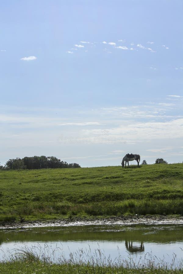 Het witte paard weidt op een groene weide Dit wordt weerspiegeld in de rivier stock foto's