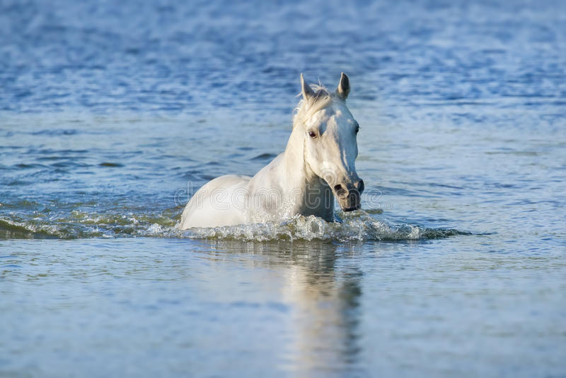 Het witte paard zwemt royalty-vrije stock foto's