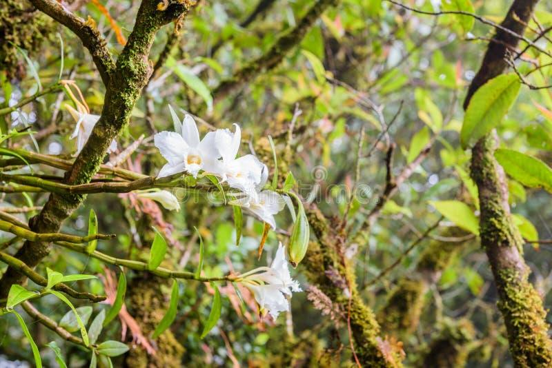 Het witte Phalaenopsis-orchidee groeien aan de kant van bomen in diep stock afbeeldingen