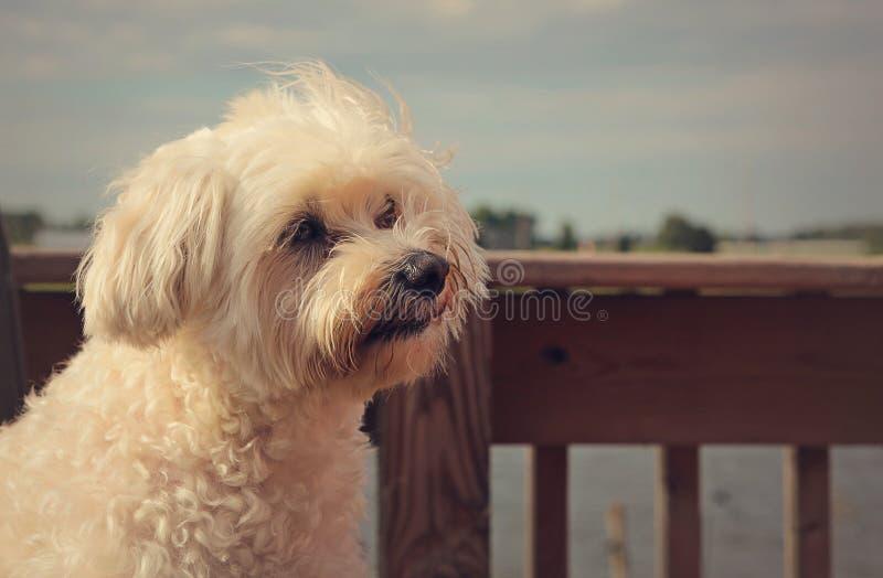 Het witte pluizige hond kijken royalty-vrije stock afbeeldingen