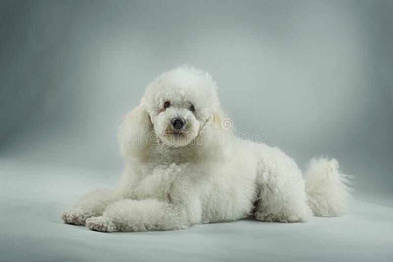 Het witte poedel stellen royalty-vrije stock fotografie