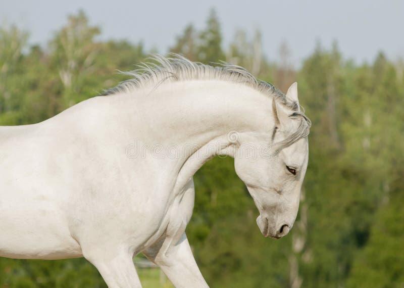 Het witte portret van de paardzomer royalty-vrije stock fotografie