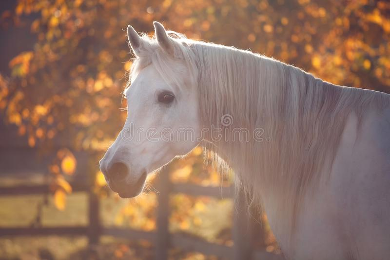 Het witte portret van het hengstpaard in het gloeien gouden de herfstsfeer royalty-vrije stock foto
