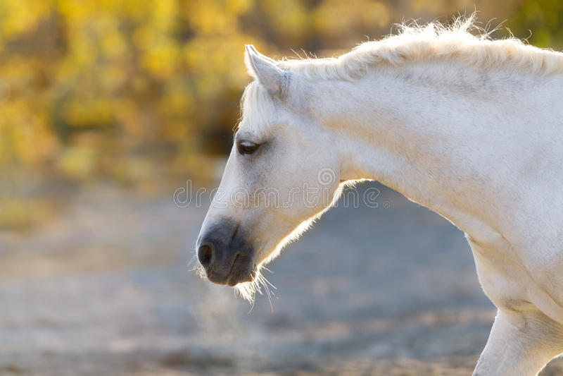 Het witte portret van het Paard royalty-vrije stock foto
