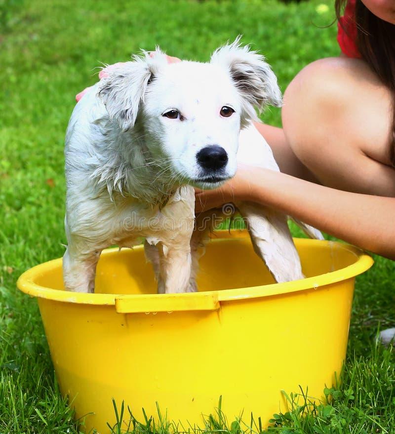Het witte puppy van de Idswas in het bassin stock foto's