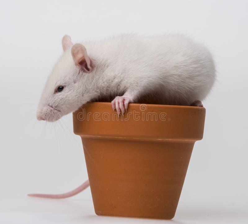 Het witte rat spelen royalty-vrije stock fotografie