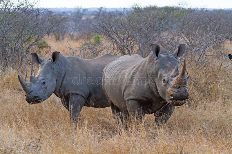 Het witte Rinocerossen Weiden stock afbeelding