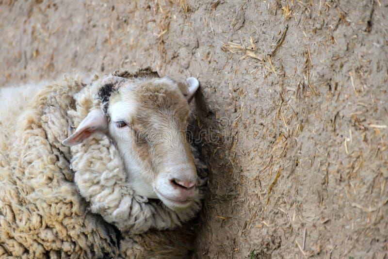 Het witte schaap bevindt zich in een stal op een landbouwbedrijf, de lente en de zomer landelijke mening, Kwekend vee royalty-vrije stock foto