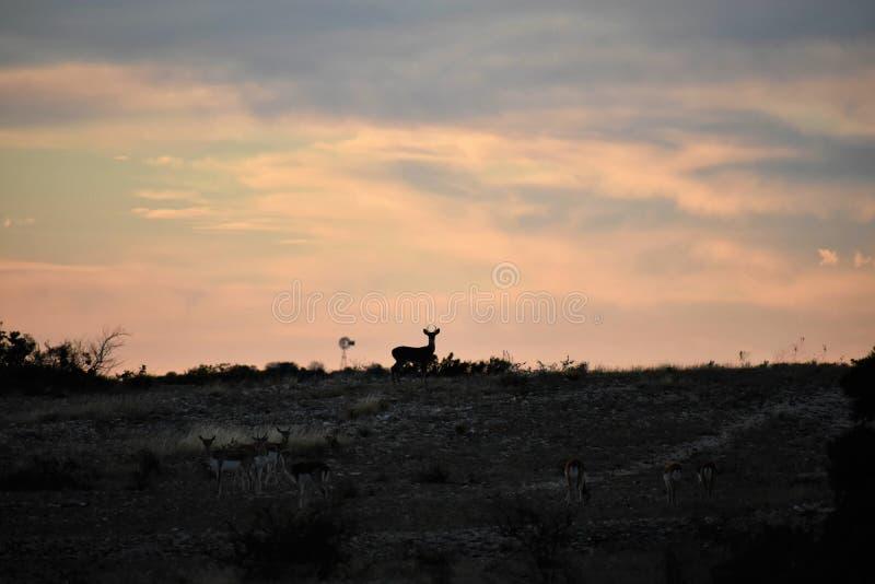 Het witte Silhouet van Staartherten stock foto's