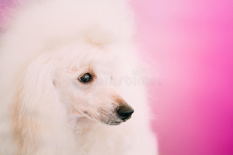 Het witte Standaard Dichte Omhooggaande Portret van de Poedelhond royalty-vrije stock foto's