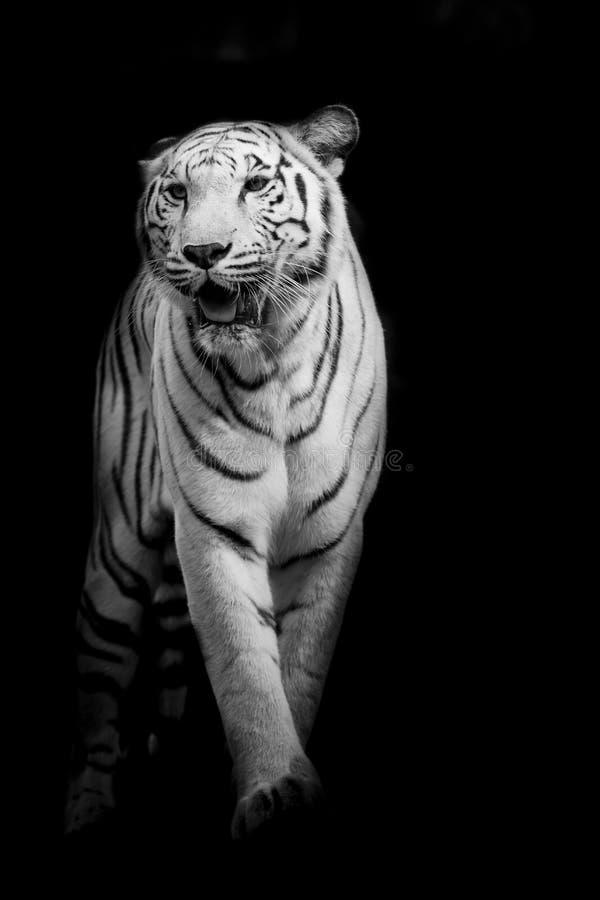 Het witte tijger lopen geïsoleerd op zwarte achtergrond royalty-vrije stock afbeeldingen