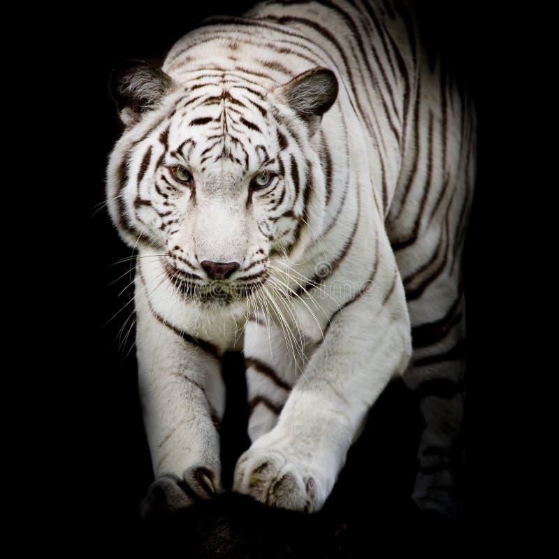 Het witte tijger springen geïsoleerd op zwarte achtergrond stock foto