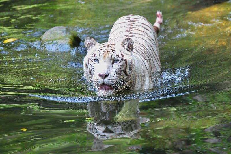 Het witte tijger zwemmen stock foto's