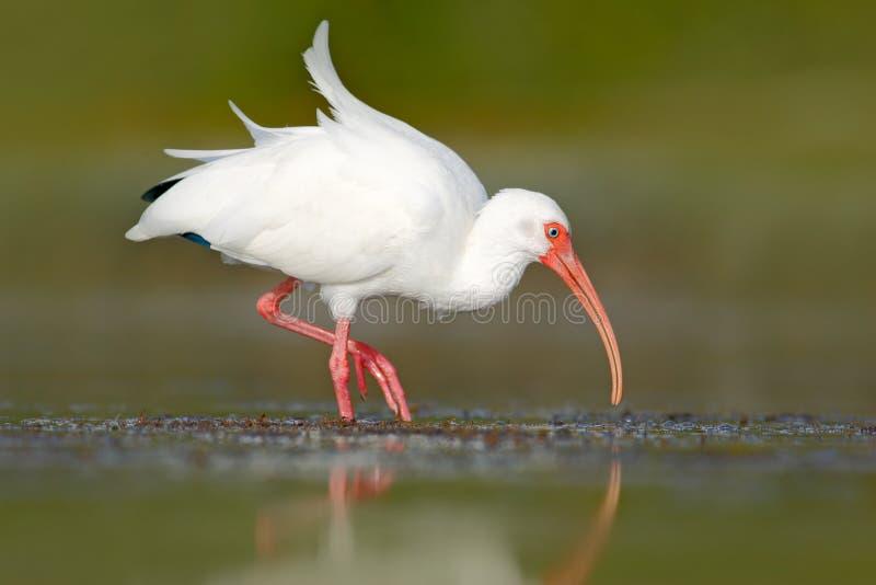 Het witte voeden van de Ibis Witte Ibis, Eudocimus-albus, witte vogel met rode rekening in het water, het voeden voedsel in het m royalty-vrije stock fotografie