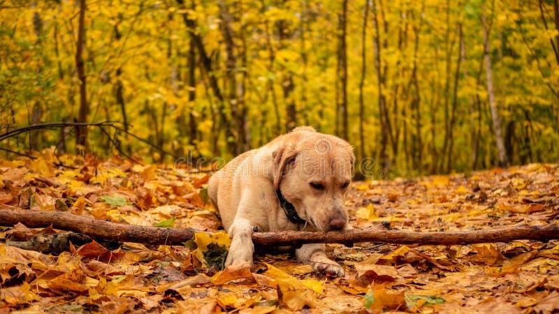 Het witte volwassen labrador retriever-spelen met een houten stok in de herfstpark stock fotografie