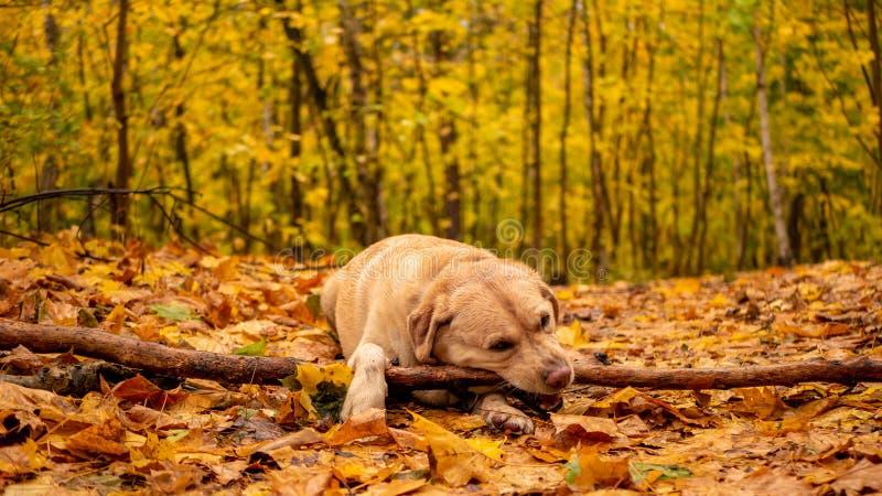 Het witte volwassen labrador retriever-spelen met een houten stok in de herfstpark royalty-vrije stock foto's