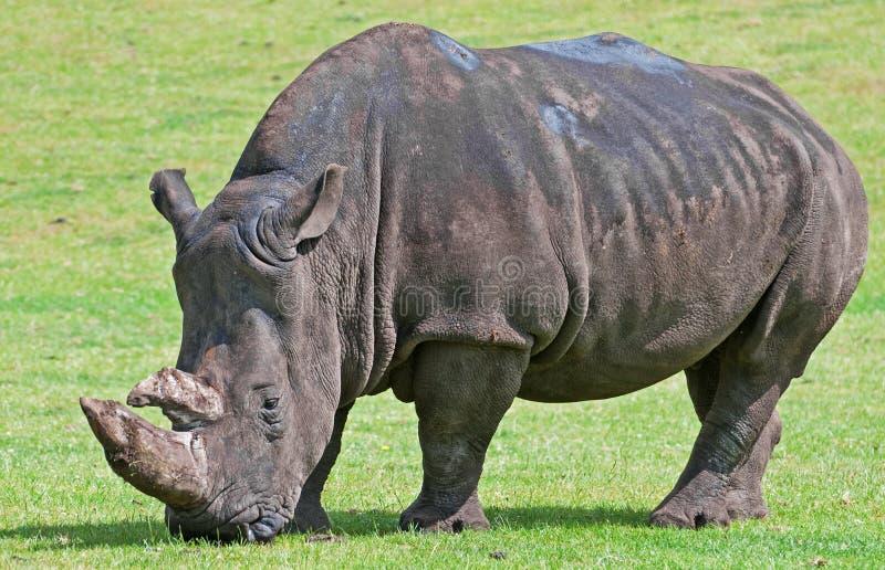 Het witte Weiden van de Rinoceros stock afbeelding