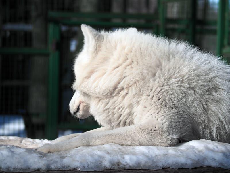 Het witte wolf bont leggen bij de sneeuw stock afbeelding