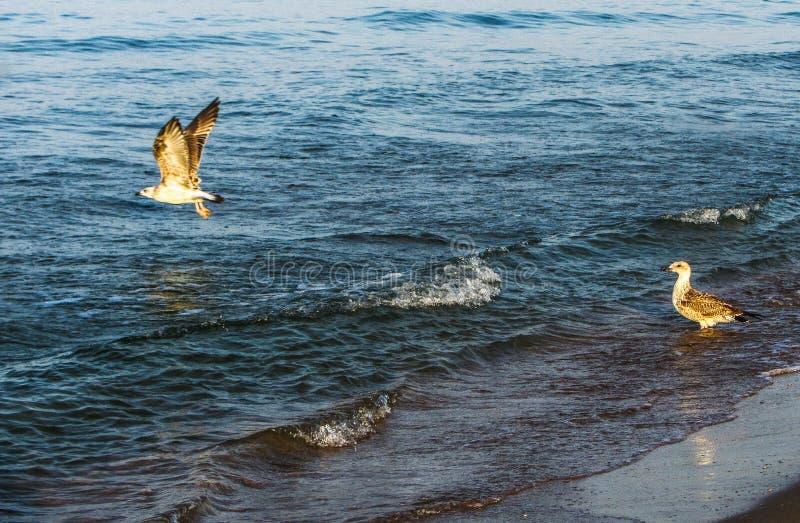 Het witte zeemeeuwen vliegen stock fotografie