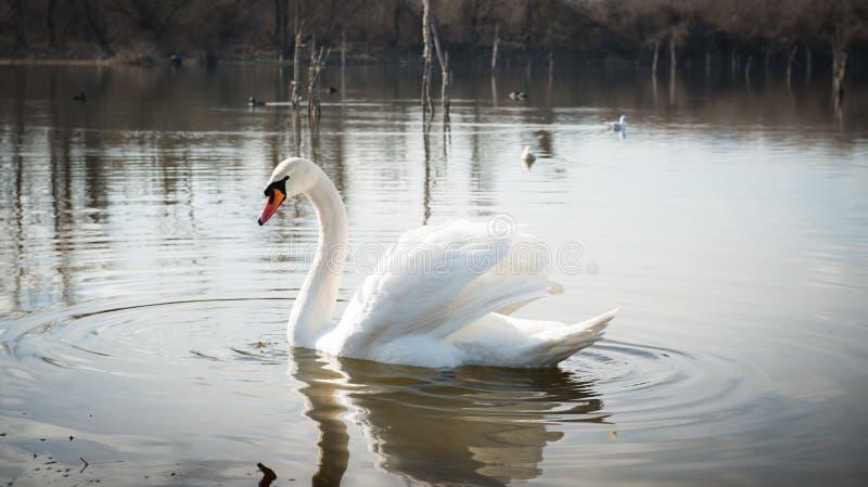 Download Het witte zwaan drijven stock afbeelding. Afbeelding bestaande uit elegantie - 29510713