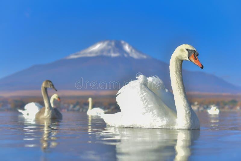 Het witte Zwaan voelen romantisch en liefde bij Meer Yamanaka met MT royalty-vrije stock afbeeldingen