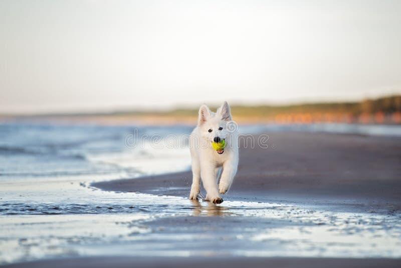 Het witte Zwitserse herderspuppy spelen op het strand royalty-vrije stock afbeeldingen