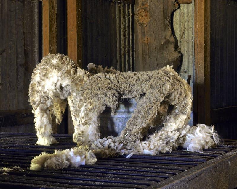 Het wolwachten wordt om te zijn ingedeeld voor verwerking royalty-vrije stock foto's