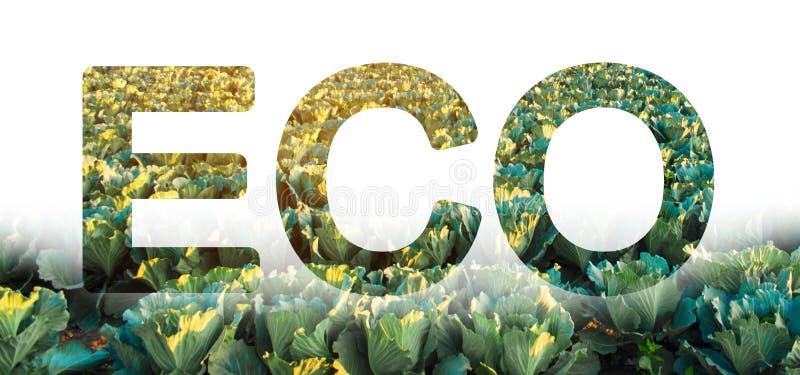 Het woord Eco op de achtergrond van het gebied van de koolaanplanting Voorwaarde van de wintergewassen Milieuvriendelijke oogst,  royalty-vrije stock foto's