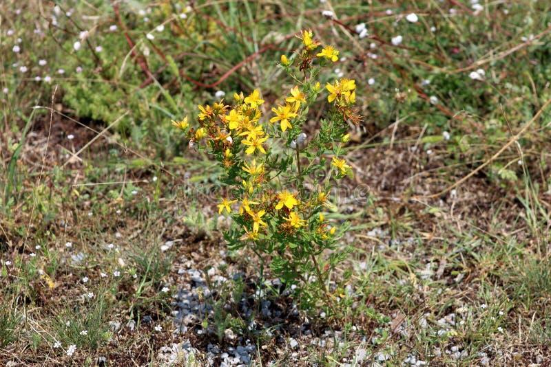 Het wort van heilige Johns of Hypericum-de perforatum bloeiende installatie en het geneeskrachtige kruid met heldere gele bloemen stock foto
