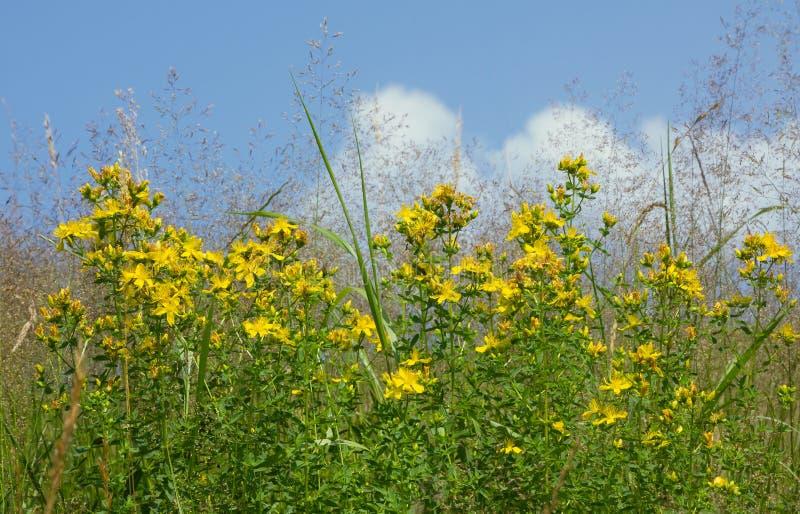 Het wort van heilige johns wildflower, medische installatiehypericum stock foto