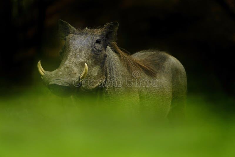 Het Wrattenzwijn van het oogniveau royalty-vrije stock afbeelding
