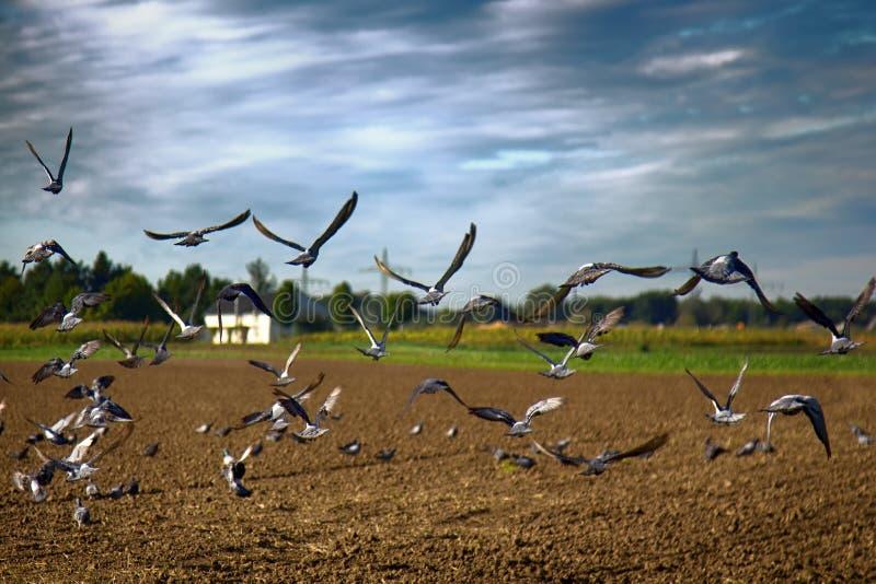 Het zaaien van de wintergewassen en het voeden op gezaaid gebied van grijze duiven stock foto