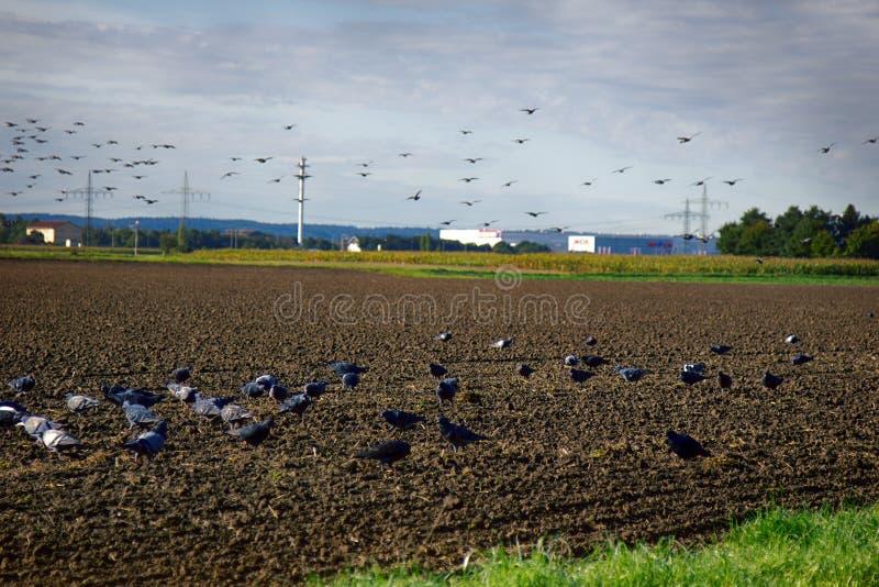 Het zaaien van de wintergewassen en het voeden op gezaaid gebied van grijze duiven stock fotografie