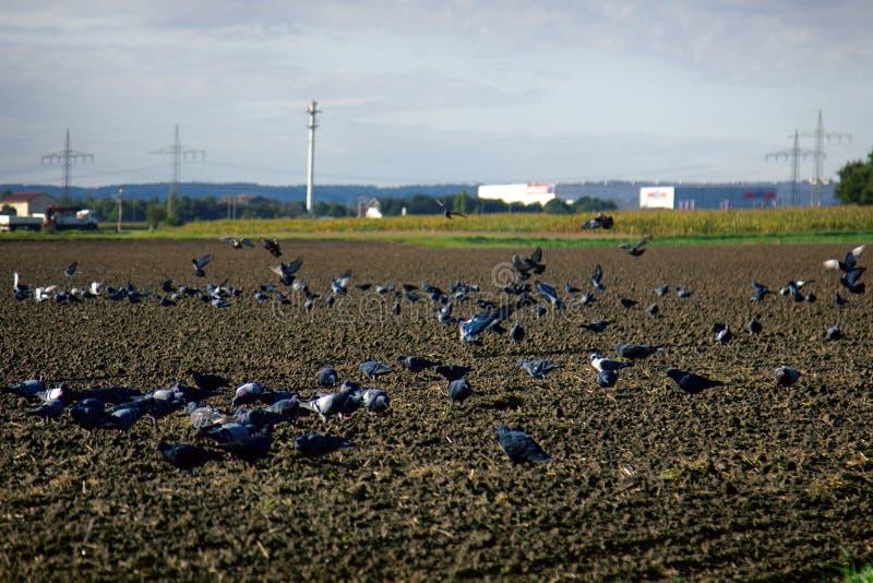 Het zaaien van de wintergewassen en het voeden op gezaaid gebied van grijze duiven royalty-vrije stock foto's
