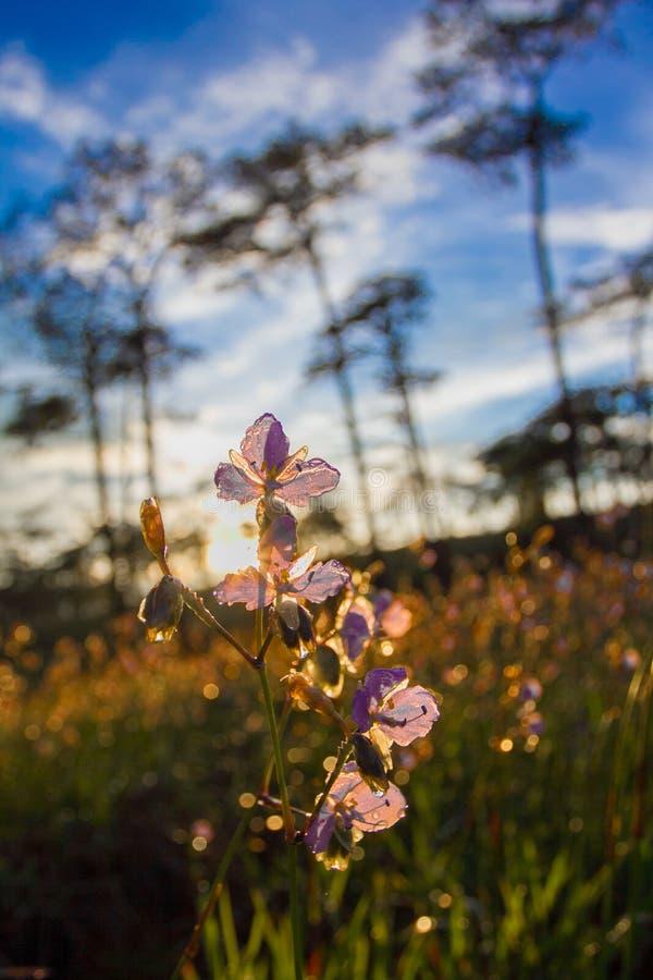 Het zachte Nadruk zoete purpere bloemen en bos van de pijnboomboom met zonsonderganglicht op Phu Soi Dao National Park, Thailand stock afbeeldingen