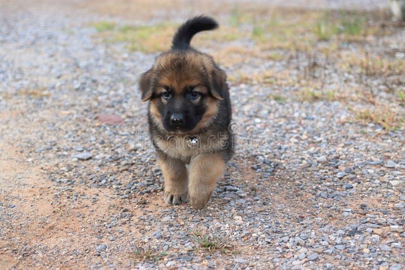 Het zachte puppy die van de nadruk cutie mooie Duitse herder ter plaatse bij buitenhuis lopen royalty-vrije stock afbeeldingen