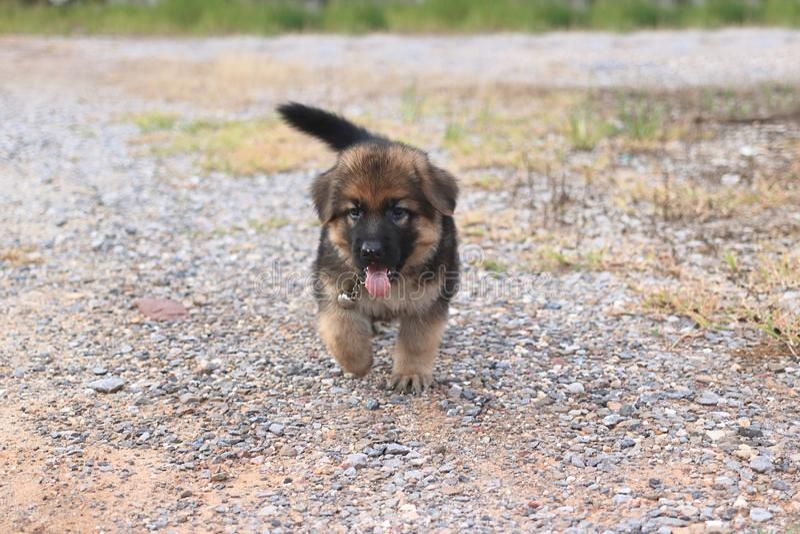 Het zachte het puppy van de nadruk gelukkige mooie Duitse herder spelen bij buitenhuis stock afbeeldingen