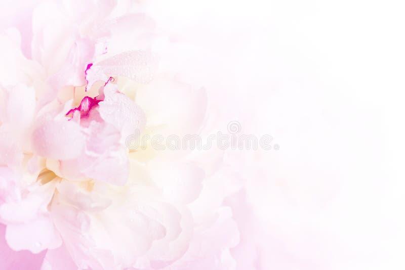Het zachte roze close-up van de pioenbloem royalty-vrije stock afbeeldingen