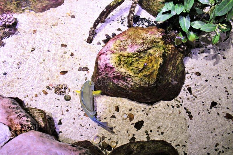 Het zeeëngel op zee Leven Arizona, Aquarium in Tempe, Arizona, Verenigde Staten royalty-vrije stock afbeelding
