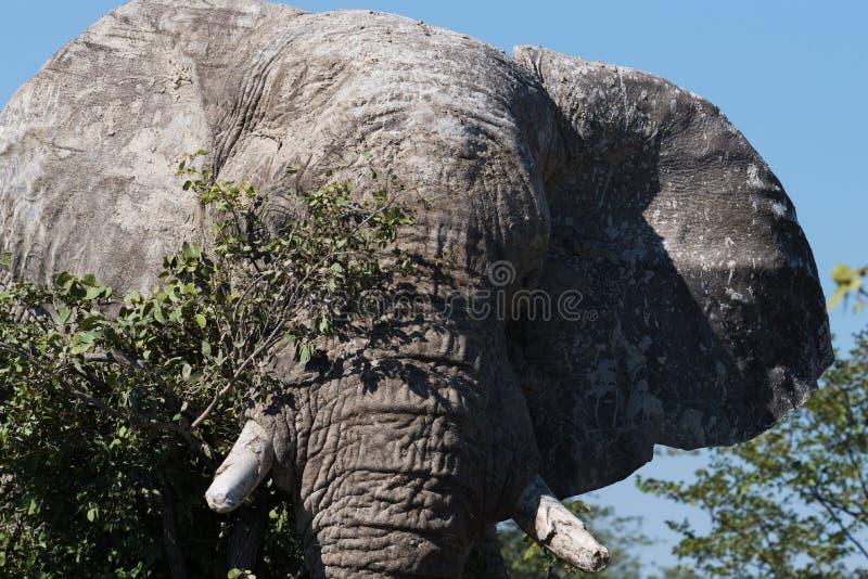Het zeer grote hoofd van deze magnificant stierenolifant vult het kader stock foto