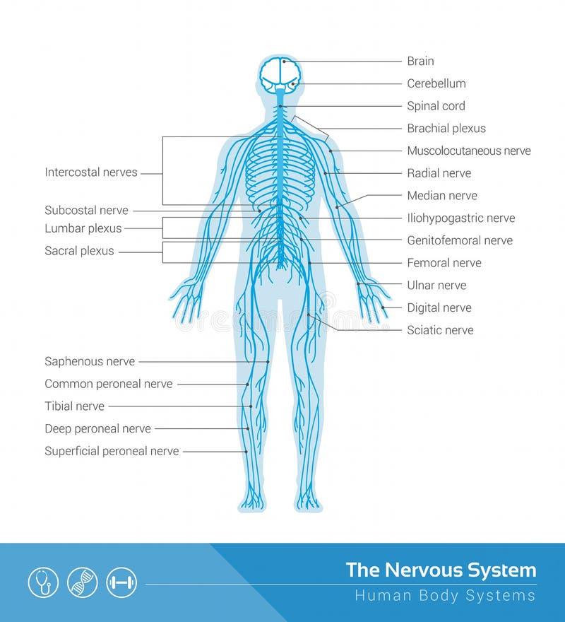 Het zenuwstelsel royalty-vrije illustratie
