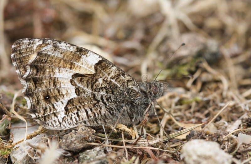Het zijaanzicht van een Grayling-Vlinder, Hipparchia semele streek ter plaatse met zijn gesloten vleugels neer royalty-vrije stock foto