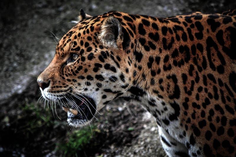 Het zijprofiel van Jaguar HDR stock afbeeldingen